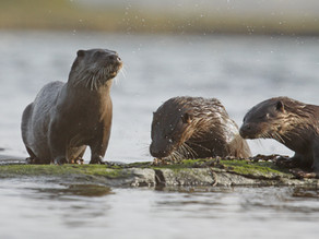 GUEST BLOG – Otters on Orkney by Anne Bignall