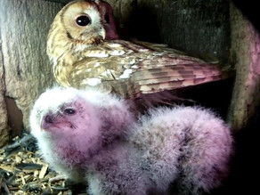 A mixed diet for our growing owlets!