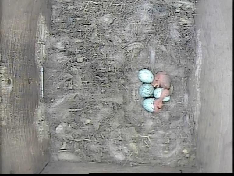 Jackdaw Chick 2 _ May 5th_00004