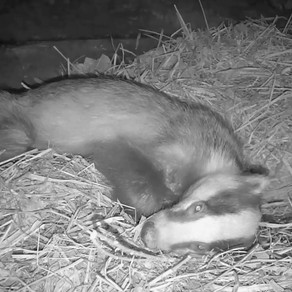The Badger stays in our Sett Chamber during the day!