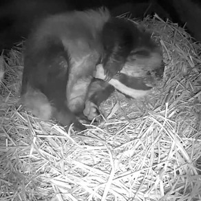 More Yew View Badger Sett Footage!