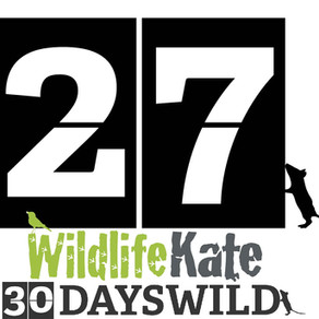#30DaysWild – Day 27  Drinker Moth Caterpillar Find