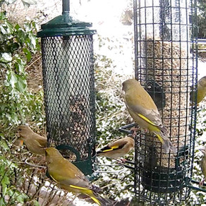 Building up to RSPB Big Garden Birdwatch with the wildlife in my patch!