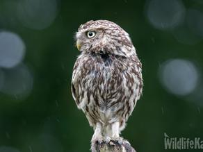 A Little Owl Treat!