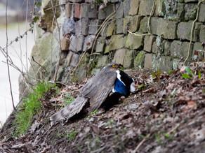 Sparrowhawk Encounter