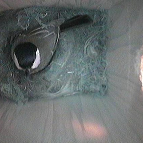 We have Great tit eggs!!!
