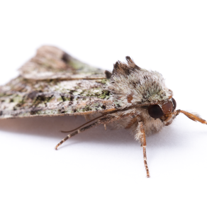 Moth Night Trapping is a test for new Macro Studio set-up