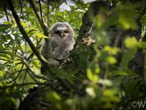 Major Yew View Owlet Dramas!