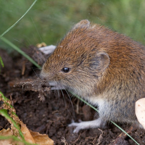 Bank Vole Rescue