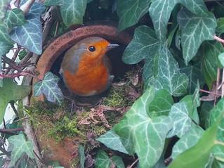 A Teapot Robin!