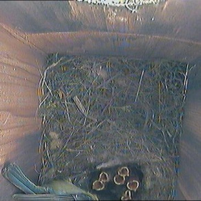 Nestbox Update 16th May
