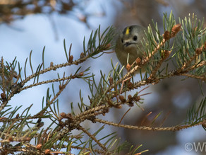 Bullfinches & Goldcrests; A Gorgeous Day in my Patch