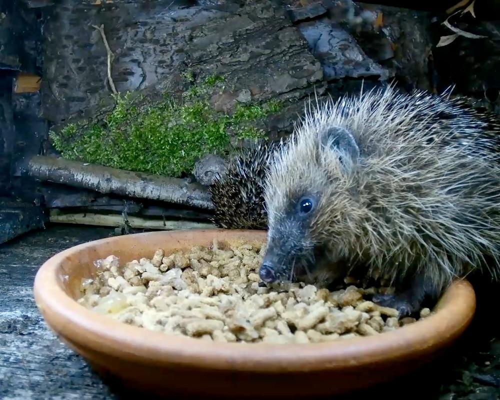 hedgehogs1_00001