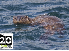 #30DaysWild – Day 20  Ultimate Shetland 2: A Wonderful Otter Encounter!