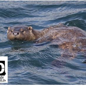 #30DaysWild – Day 20  Ultimate Shetland 2: A Wonderful Otter Encounter!