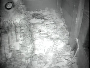 Unexpected Visitor to my barn Owl Box!