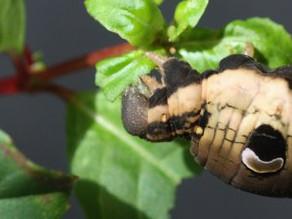 Elephant Hawk Moth Beauties!