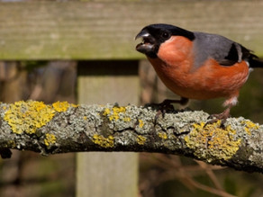 Traxwatch Bullfinches