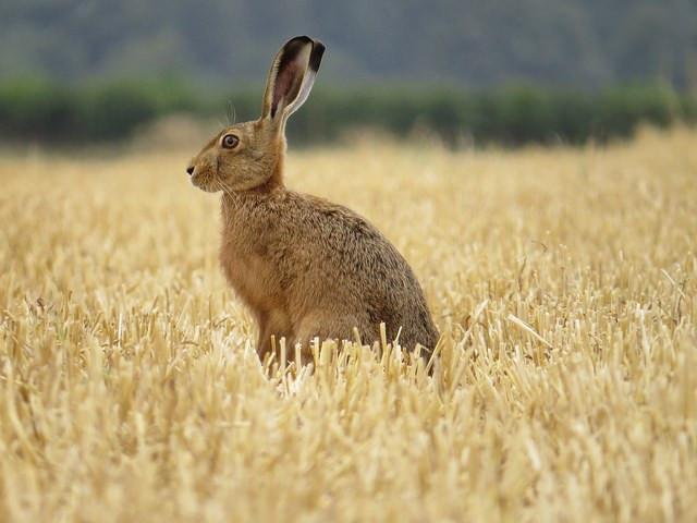 Sitting Hare - Alex White