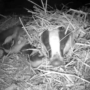 Yew View badger updates….