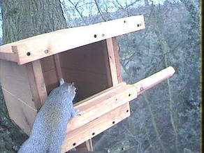 Visitor to Kestrel box