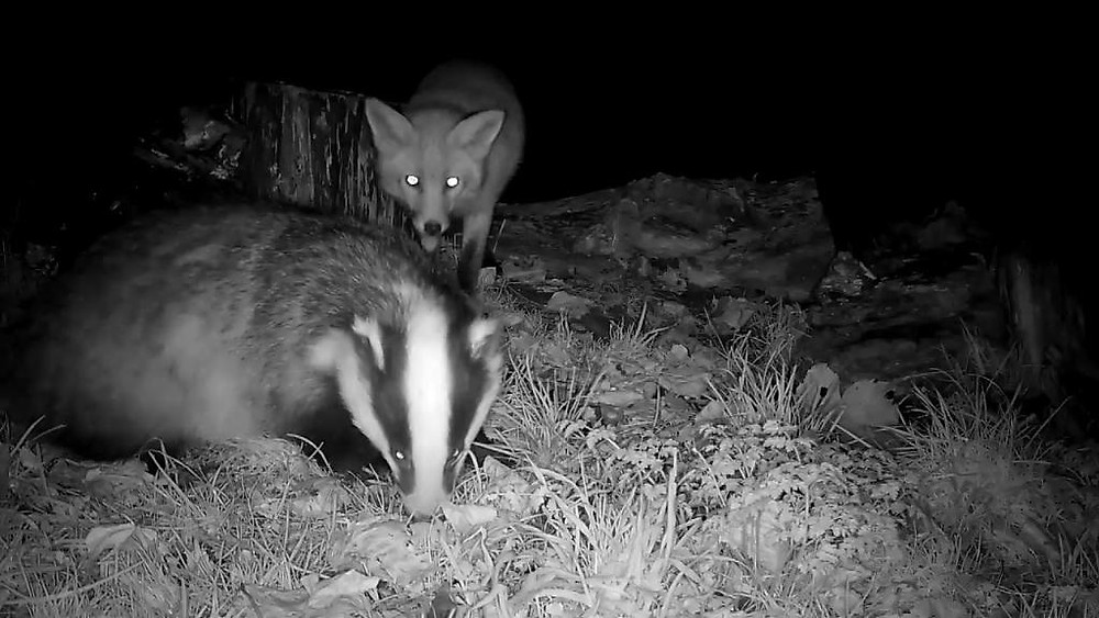 Vivotek IB8367 Badger Feeding 2015-12-02 17-55-31.022