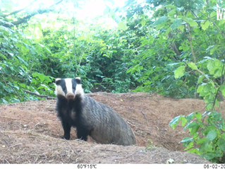 Fox and Badger Cubs… My Latest Bushnell Captures