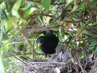 My Blackbird Family.... Hatch to Fledge in just 12 days!