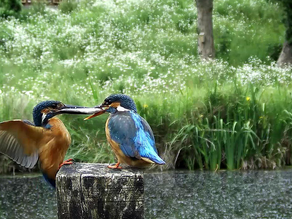 Kingfisher Joys!