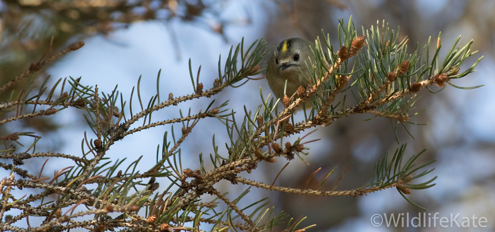 Goldcrest_-3581_lowRes17