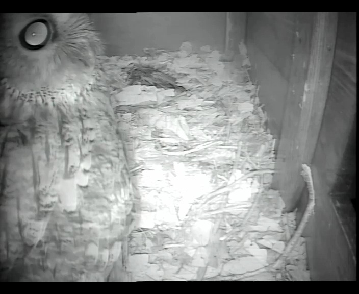 Tawny in Barn owl box 15th  Jan_00001