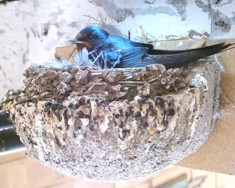 Swallow chicks 7th July_00000