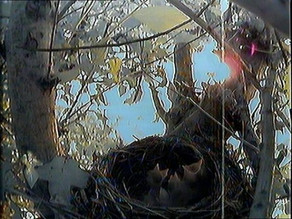 Three blackbird chicks!