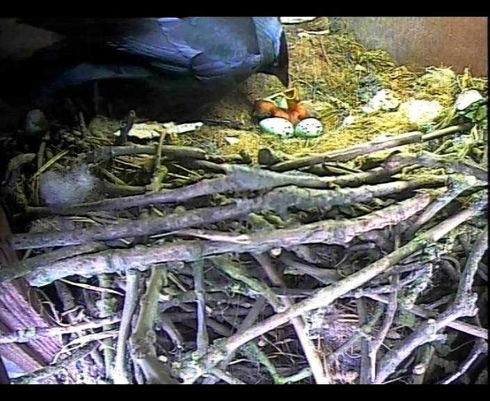 Jackdaw Chicks 9th May 1_00002