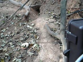 Bushnell Trophy Cam HD Daylight Badger!