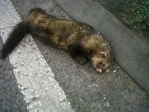 Is this a polecat?