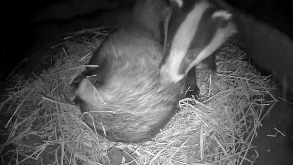 badger-sett-chamber-2-badgers-30th-sept_00009