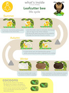 Lefcutter Bee life cycle