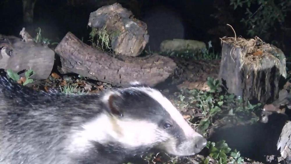 vivotek-badger-feeding-2016-11-12-20-45-37-043