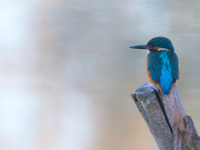 Amazing Kingfisher Morning