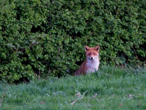 First Fox photos of the year!