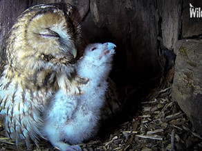 Eyes open and large meals! Nyx the Tawny Owlet's 2nd week.