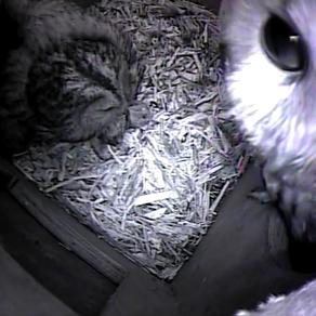 Tawny Owl Update
