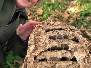 Hornet Nest Miracle