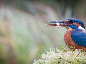 Kingfisher Delights… plus otters & tawnies