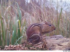 Maryland Adventures Part 5:  Bushnell Chipmunks