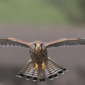 Kestrels, Little Owls and Red Squirrels
