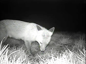 Fox cubs on the way!