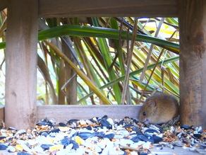 HD Harvest Mouse Cam gets results!