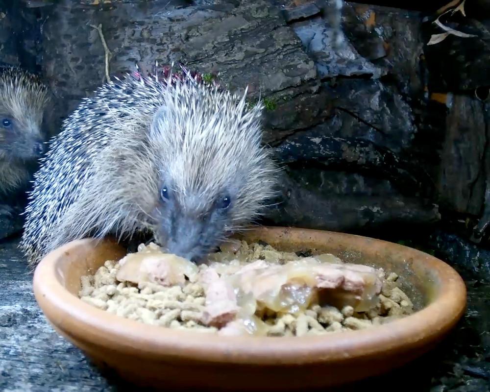 hedgehogs2_00003